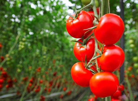 Our Guide to Tomato Varieties