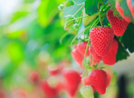 Space-saving strawberry patches
