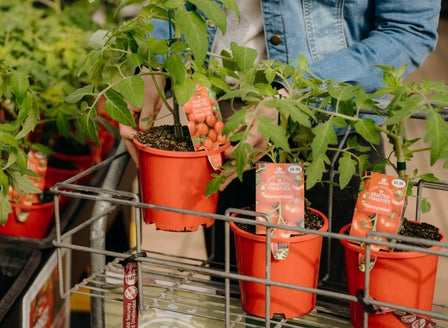 A Beginner's Guide to Growing Tomatoes